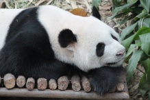 Day 2 - Singapore Zee - Panda