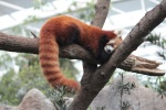 Day 2 - Singapore Zoo - Red Panda