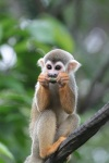 Day 2 - Singapore Zoo - Squirrel Monkey